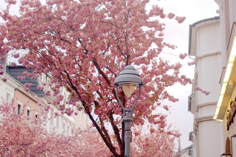 [组图] CherryBrickRoad:春意洒满樱花路(24P) - 路人@行者 - 路人@行者